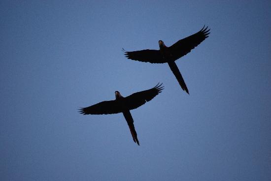 Casita Corcovado: les macaws