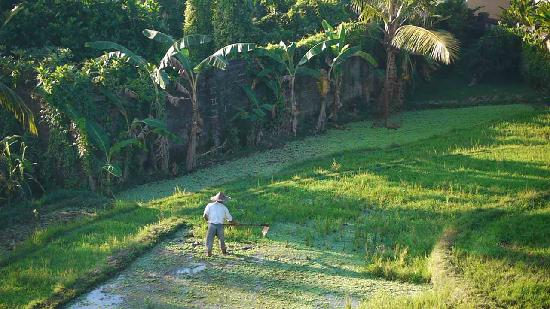Ubud View Bungalows: Rice farmer view from our balcony