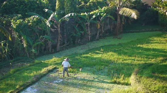 อูบุด วิว บังกะโล: Rice farmer view from our balcony