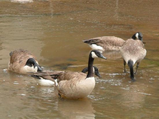 Falls Park on the Reedy: Lots of geese and other water fowl