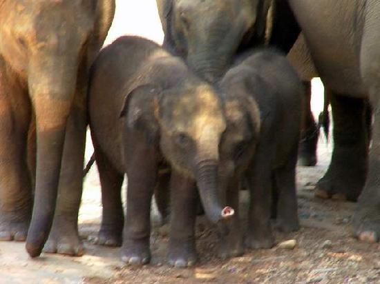 Pinnawala Elephant Orphanage: sweet baby
