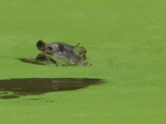 Gwahumbe Game & Spa: Hippo pond