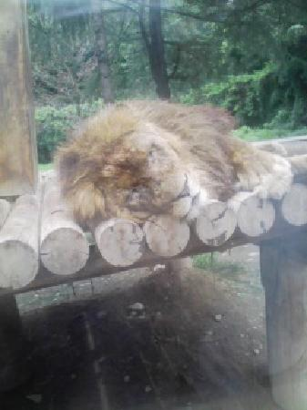 Gunma Safari Park : ライオンのオス。よく寝てます。