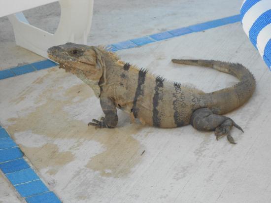 Grand Sirenis Riviera Maya Resort & Spa: One of the resident iguanas
