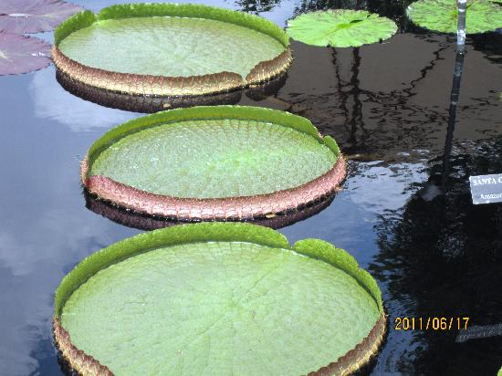 Fairville Inn Bed and Breakfast: AMAZON LILY PADS AT LONGWOOD