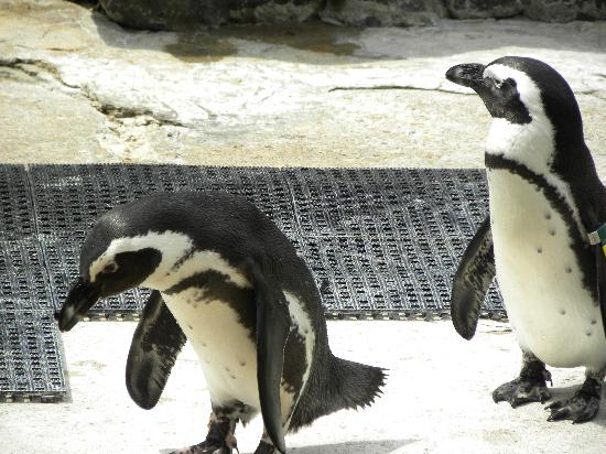 The Maryland Zoo: african penguins