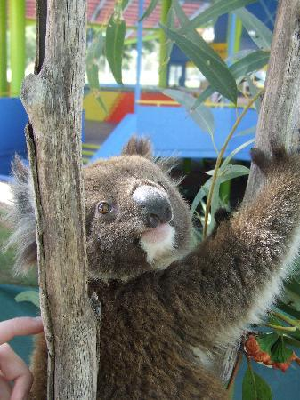 Adventure World: Have your photo taken with a koala