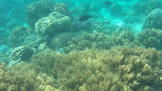 Bluewater Sumilon Island Resort: Corals.2