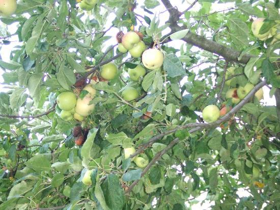 Villa Despina : apple tree in front on our studio-sweet apples