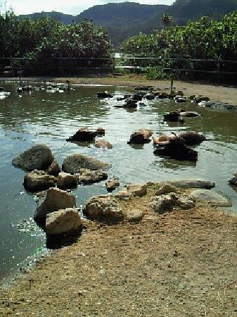 Subtropical Plant Paradise Yubujima Island: 水牛のおふろ