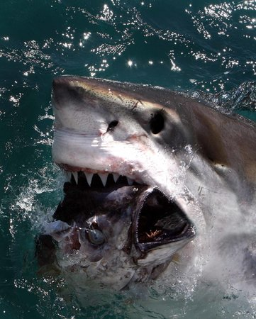 Simon's Town, Güney Afrika: ASEC = AWESOME SHARK EXPERIENCES
