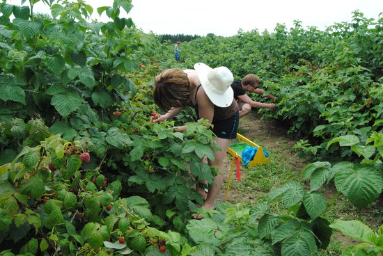 Pardo's Berrie Farms: Picking raspberries towards the end of the season