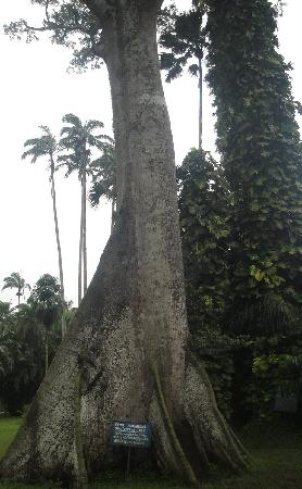 Aburi Botanical Gardens : oldest tree