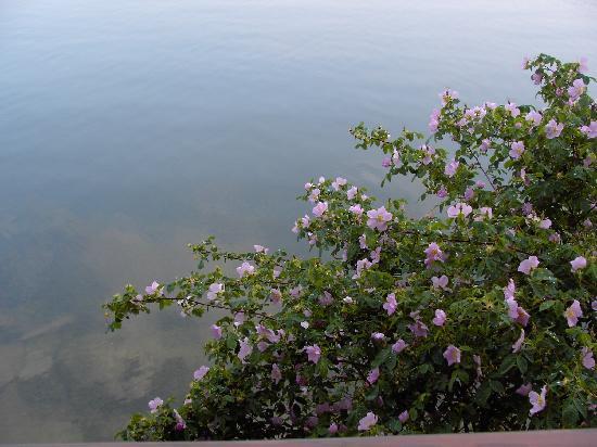 Sunflower Inn B&B: A wild rose bush below the deck.