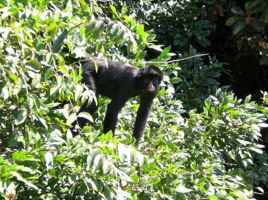 Tambo Jungle Lodge: Spider Monkey at the lake
