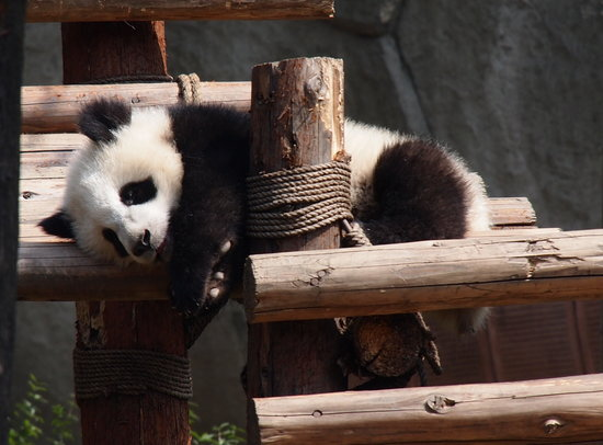 China Conservation and Research Center for the Giant Panda : resting