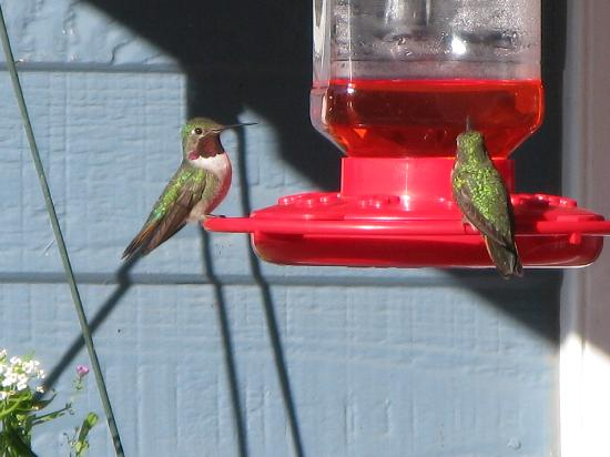 Alpine Lodge & Hotel: Broad-tailed Hummers