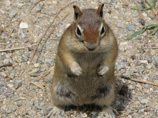 Alpine Lodge & Suites: Golden Mantled Ground Squirrel