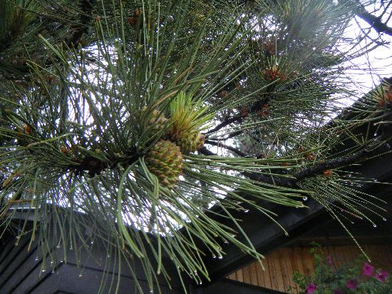 Pine Rest Cabins : New Pine Cones in the Black Hills