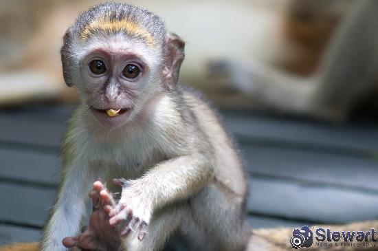 Barbados Wildlife Reserve: Baby Green Monkey