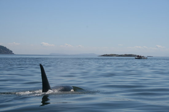 Sidney Whale Watching: orca