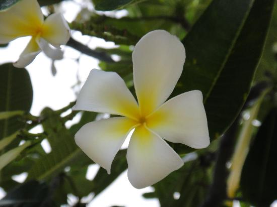 St. Kitts Marriott Resort & The Royal Beach Casino : beautiful plumeria flowers on the resort