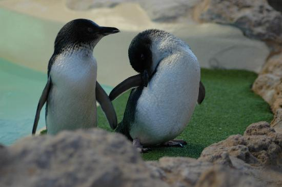 Rockingham, Australien: Penguins preening