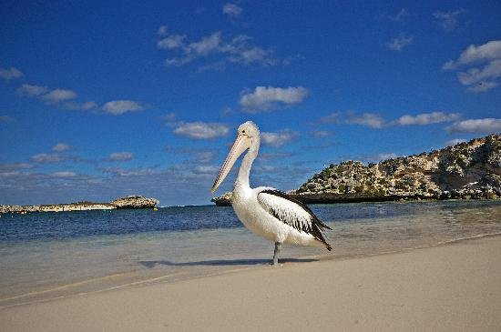 Rockingham, Australia: Friendly Pelican