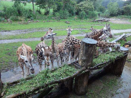 Zoologischer Garten Leipzig: Giraffen
