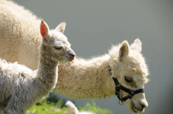 Filadelfia Coffee Resort and Spa: animal farm
