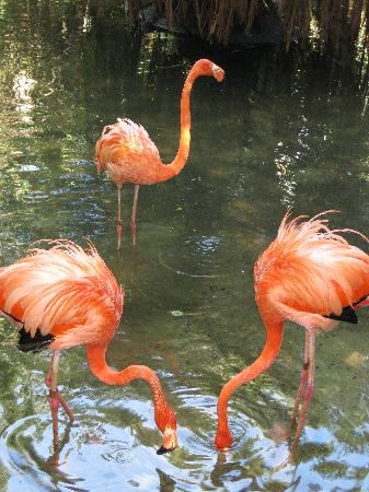 Palm Beach Zoo & Conservation Society : Flamingos in a shallow lake