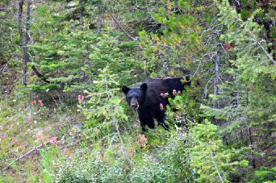 Northern Lights Saloon and Cafe: Black Bear we saw on our way!