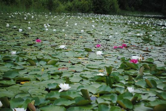 Dutch Lake Resort & RV Park: liy pads EVERYWHERE!