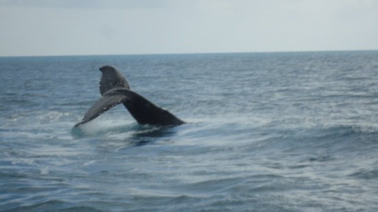 Whalesong Cruises: Hump back whales 13/8