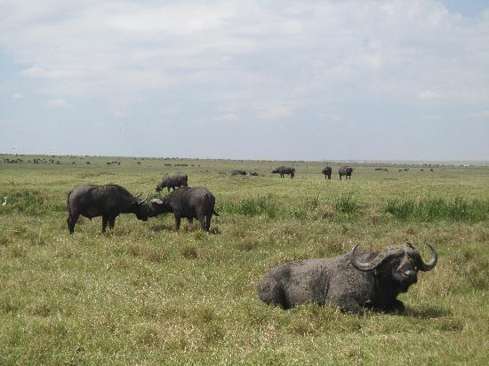 Fairmont Mara Safari Club: Bufallo in the Reserve