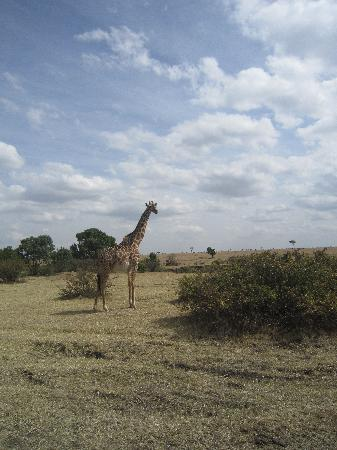 Fairmont Mara Safari Club: One of many giraffe sightings