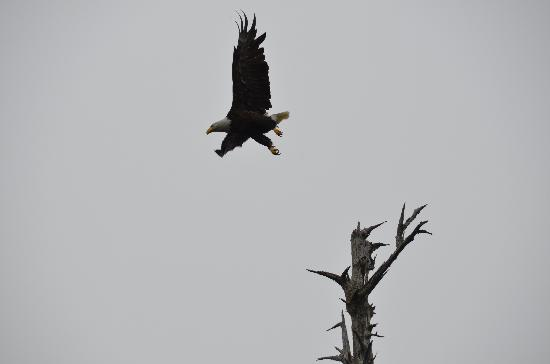 Clayoquot Wilderness Resort: Photo of Eagle