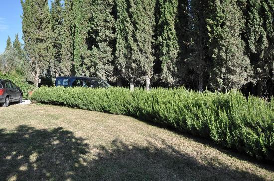 Lucignanello Bandini: The amazing Rosamary bushes