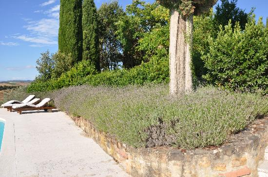 Lucignanello Bandini: lavendar by the pool, can you imagine how gorgeous when it was in full bloom!