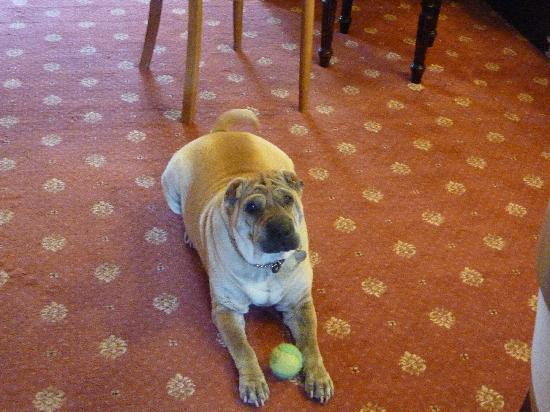 The Redcliffe Hotel : House dog,