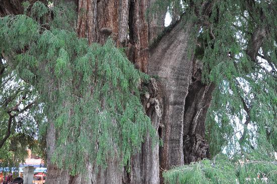 Tule Tree: albero