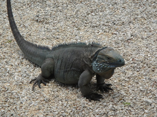 Blue Iguana Recovery Program Safari Tour: free roaming male; Mad Max