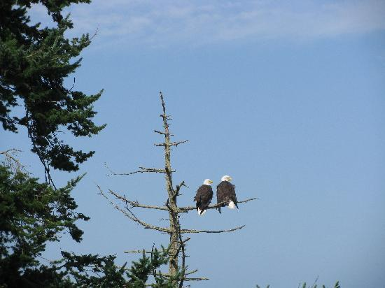 Juan de Fuca Cottages: Eagles spotted near the Cottages
