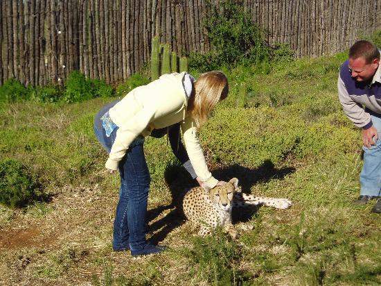 Daniell Cheetah Project: cheetah stroking