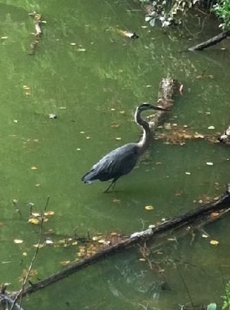 Three Lakes Nature Center and Aquarium: blue heron on our walk by the ponds
