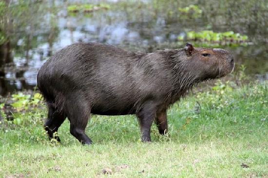 Barão de Melgaço, MT: Capybara