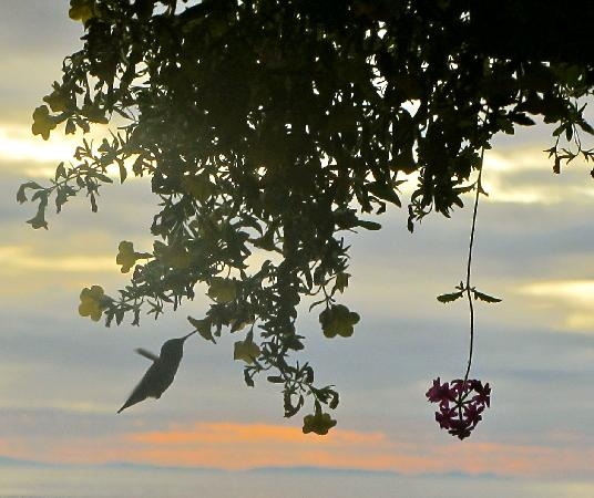 Chito Beach Resort: Early morning hummingbird