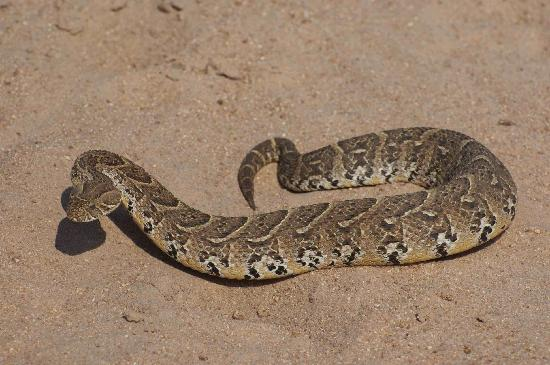 Elephant Plains Game Lodge: Puff Adder