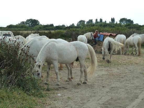 Provence-Alpes-Cote d'Azur, France: weisse Pferde