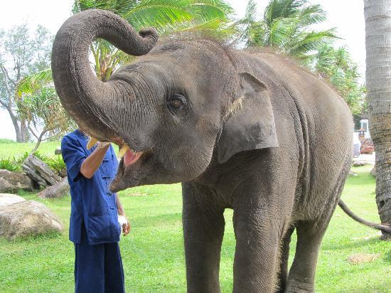 JW Marriott Phuket Resort & Spa: ホテルの海岸付近にゾウがいて、餌をやれます。子供が50Bで乗ることができました